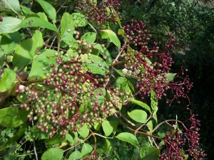 Elderberries can be used to cordial syrups or, if you'd prefer something a little stronger, wine.