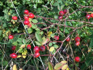 Rose hip are what form if you leave roses on their bushes, and believe it or not they're edible.