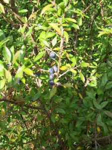 In Britain, sloe berries are most often used to make something called sloe gin.